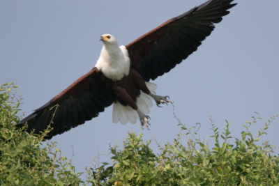 Okavango Hidden Gems - Botswana - African Fish Eagle - In Flight