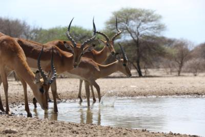 Impala - Waterhole - Drinking - Okavango Hidden Gems - Botswana