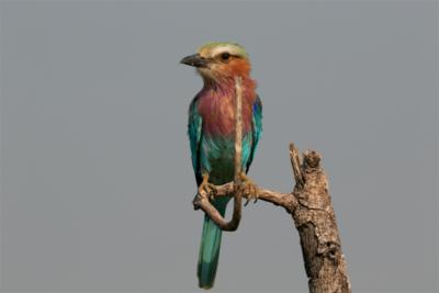 Okavango Hidden Gems - Botswana - Lilac Breasted Roller