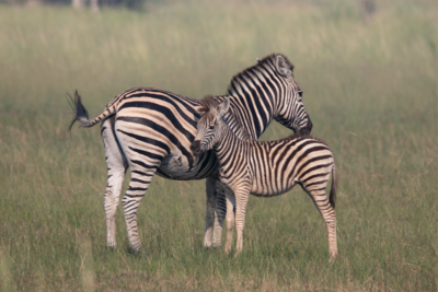 Okavango Hidden Gems - Botswana - Zebra - Mother & Baby