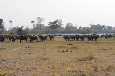 Okavango Hidden Gems - Okavango Delta - Botswana - Wildlife - Big Five - Buffalo Herd