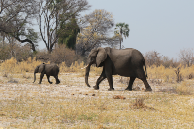 Okavango Hidden Gems - Okavango Delta - Botswana - Wildlife - Big Five - Elephant with Baby