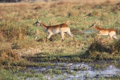 Okavango Hidden Gems - Okavango Delta - Botswana - Wildlife - Buck