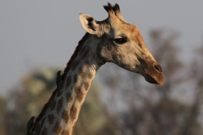 Okavango Hidden Gems - Okavango Delta - Botswana - Wildlife - Giraffe