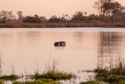 Okavango Hidden Gems - Okavango Delta - Botswana - Wildlife - Hippo