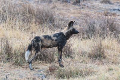 Okavango Hidden Gems - Okavango Delta - Botswana - Wildlife - Wild Dog