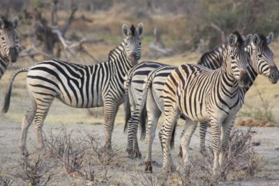 Okavango Hidden Gems - Okavango Delta - Botswana - Wildlife - Zebra